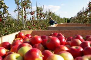 Onze appels