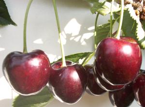 Fruitteeltbedrijf voor Kersen